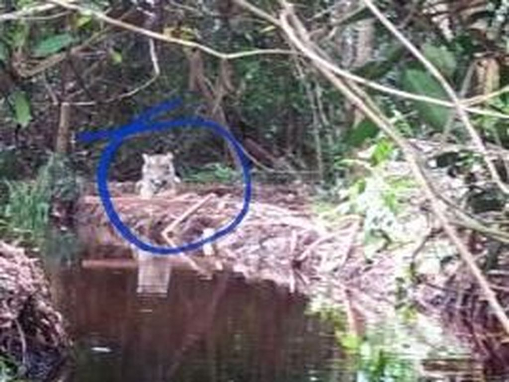 Menjauh dari Dusun, Harimau Bonita Masuk ke Hutan Produksi