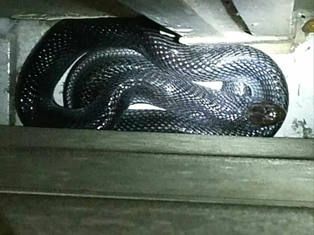 Ini Ular Kobra yang Hampir Gigit Anak di Bandung