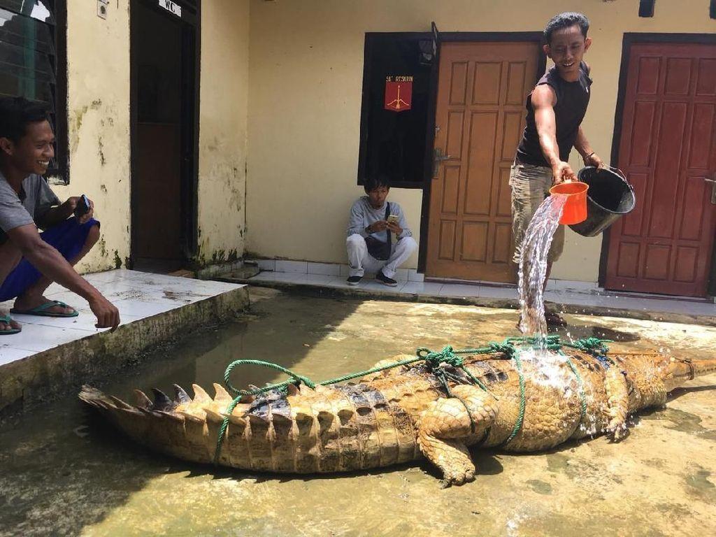 Akhir Kisah Meresahkan Buaya 3 Meter di Sumatera Selatan