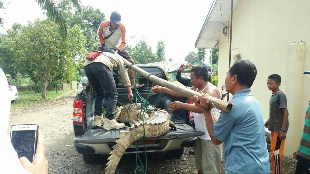 Foto: Butuh 5 Orang Angkat Buaya 3 Meter yang Bikin Geger Sumsel