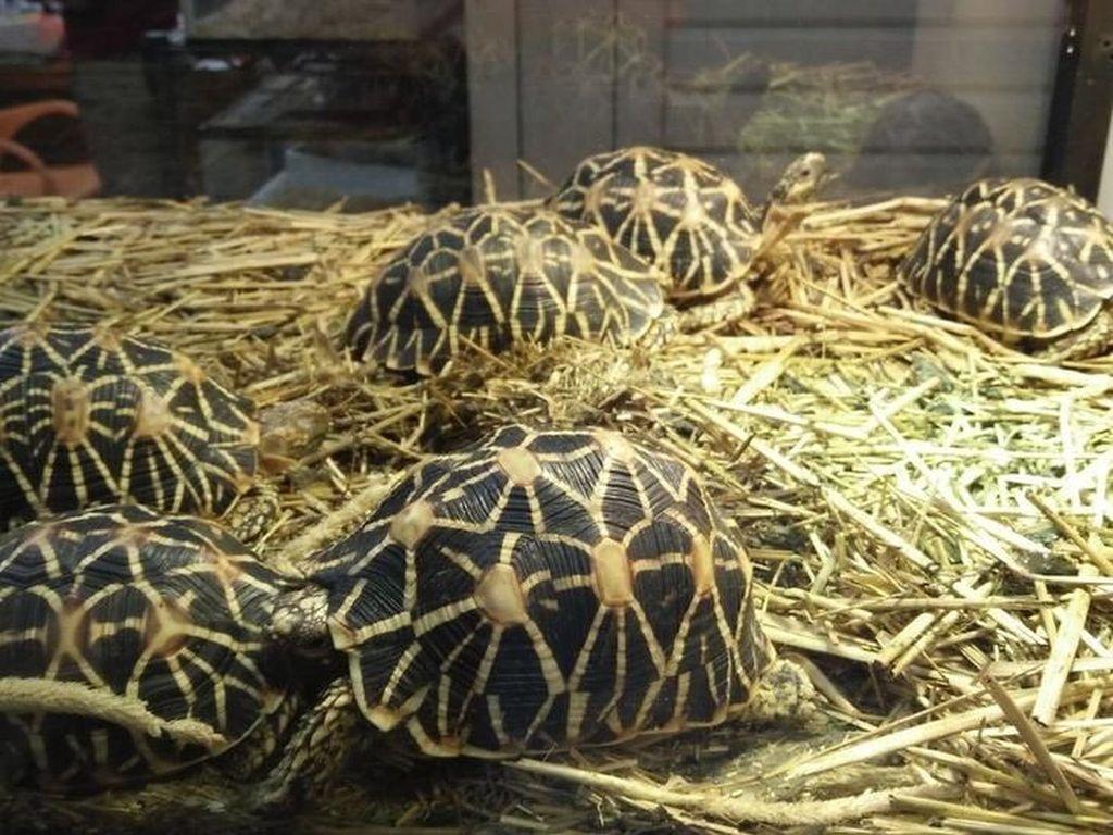 Kura-kura yang Terancam Punah Diperdagangkan di Indonesia