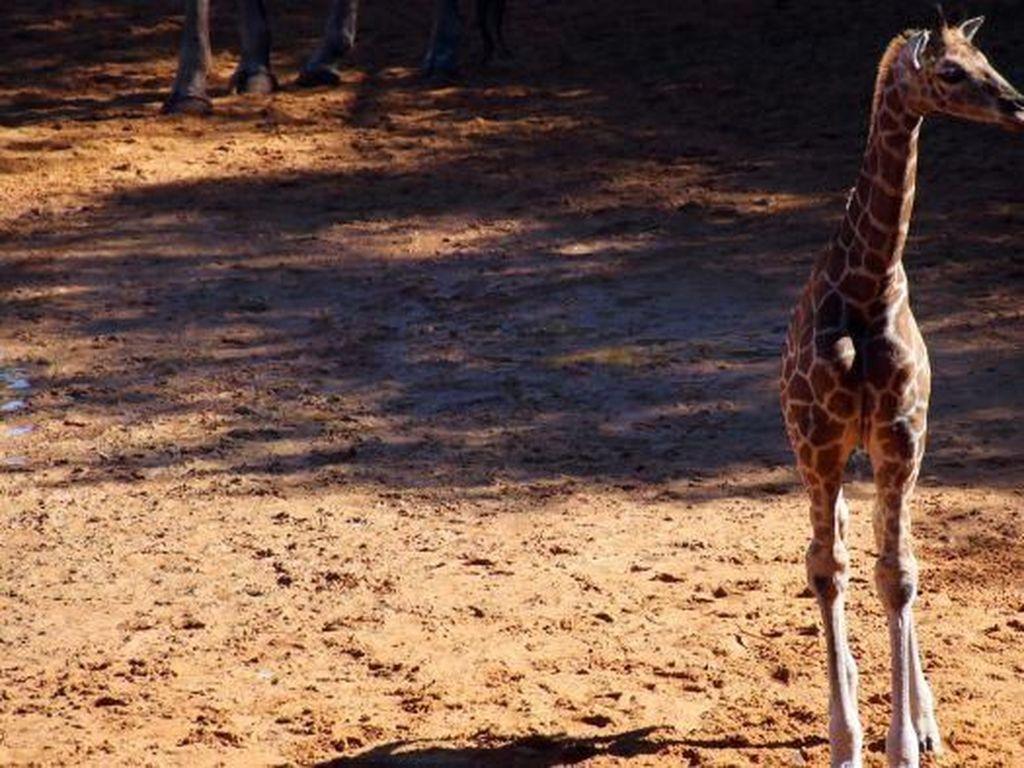 Penampilan Perdana Bayi Jerapah di Kebun Binatang Perth