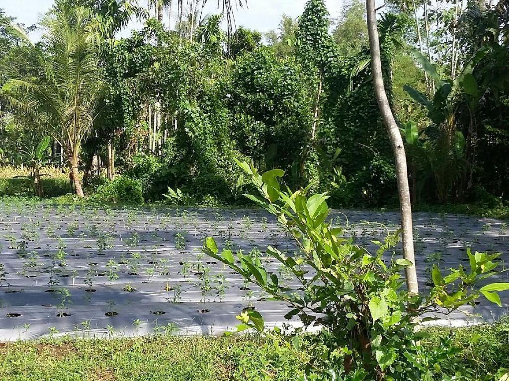 195 Ha Lahan di Bondowoso Dikembangkan untuk Pertanian Organik