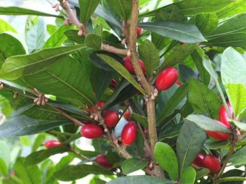 Buah Berry Ini Mampu Bangkitkan Selera Makan Pasien Kemoterapi