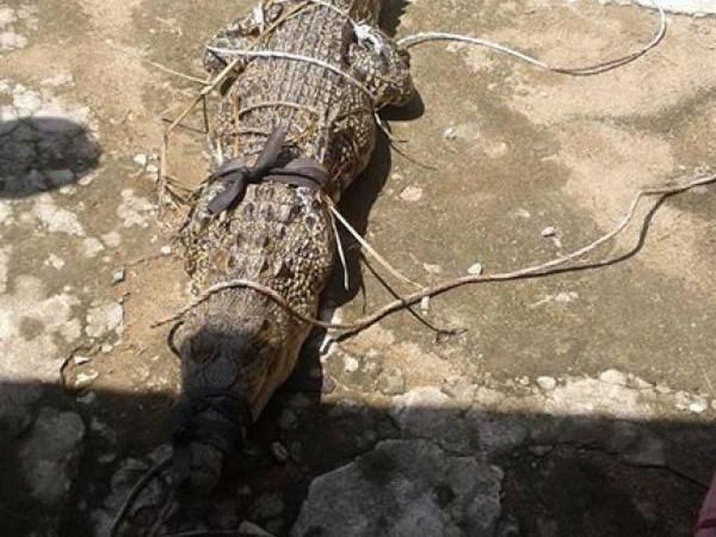 Buaya Panjang 2 Meter Ditangkap di Pemandian Anak-anak