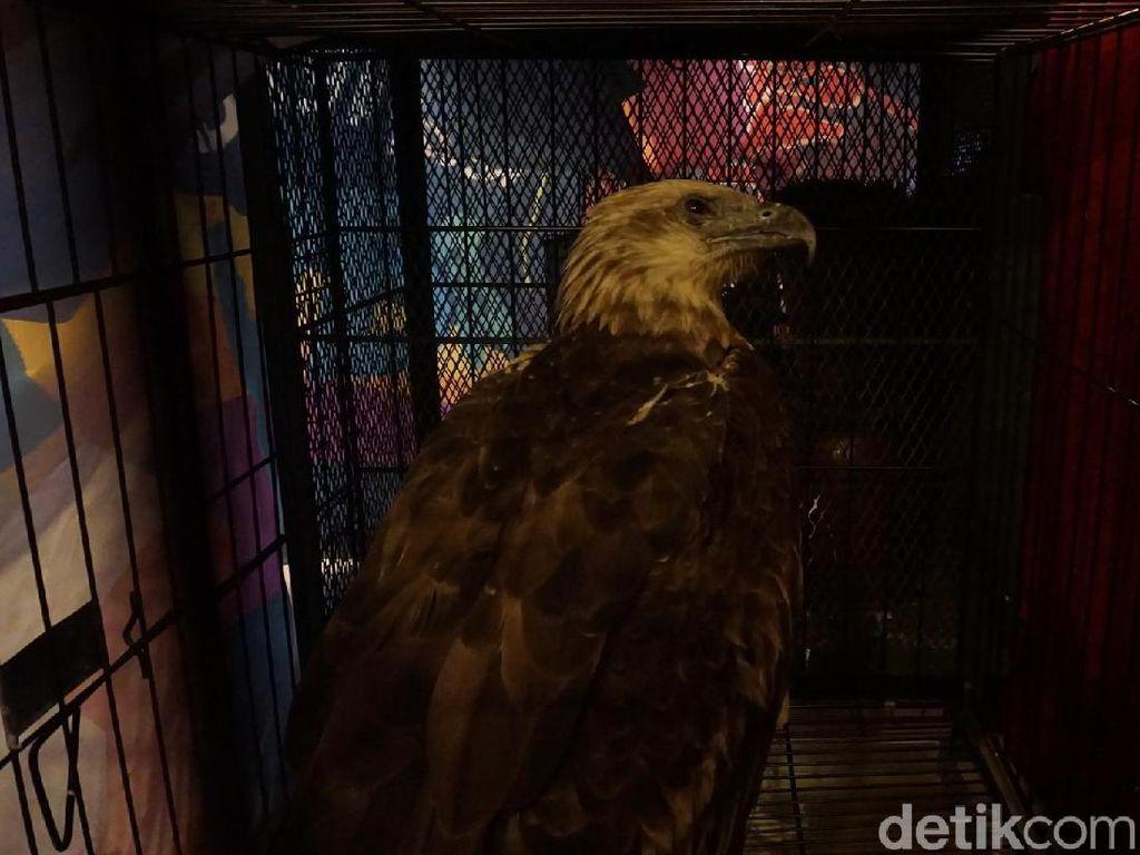 Jual Burung Maskot DKI via Online, Rudi Ditangkap Polisi