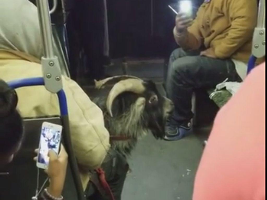 Bikin Heboh, Penumpang Bawa Kambing di Bus