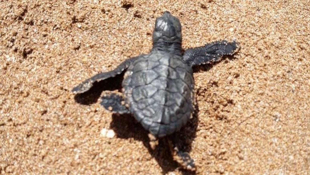 90 Bayi Penyu Lahir di Pantai yang Pernah Jadi Lautan Sampah