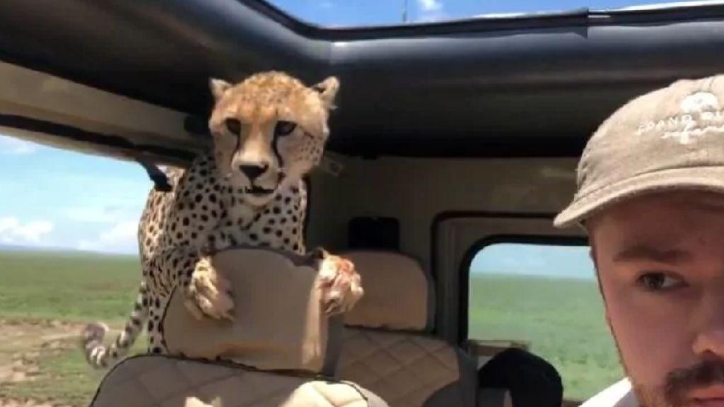Penampakan Cheetah yang Tiba-tiba Masuk Mobil Turis di Afrika