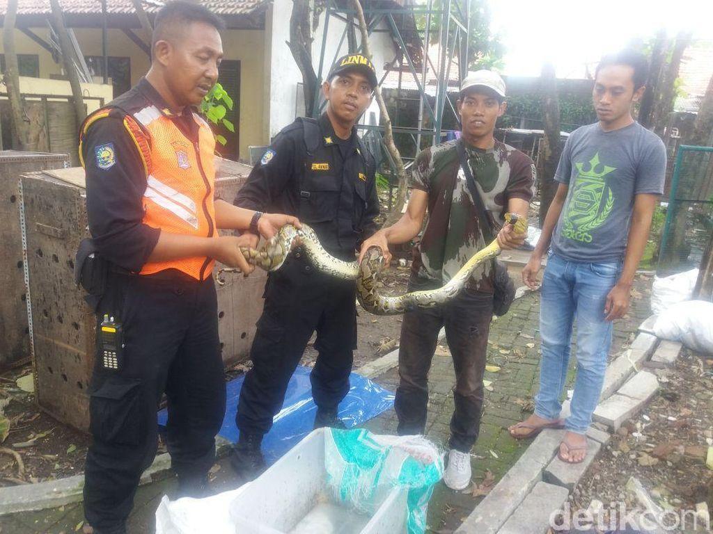 Ular Sanca Melilit Pohon Tanjung Akhirnya Dievakuasi ke BKSDA