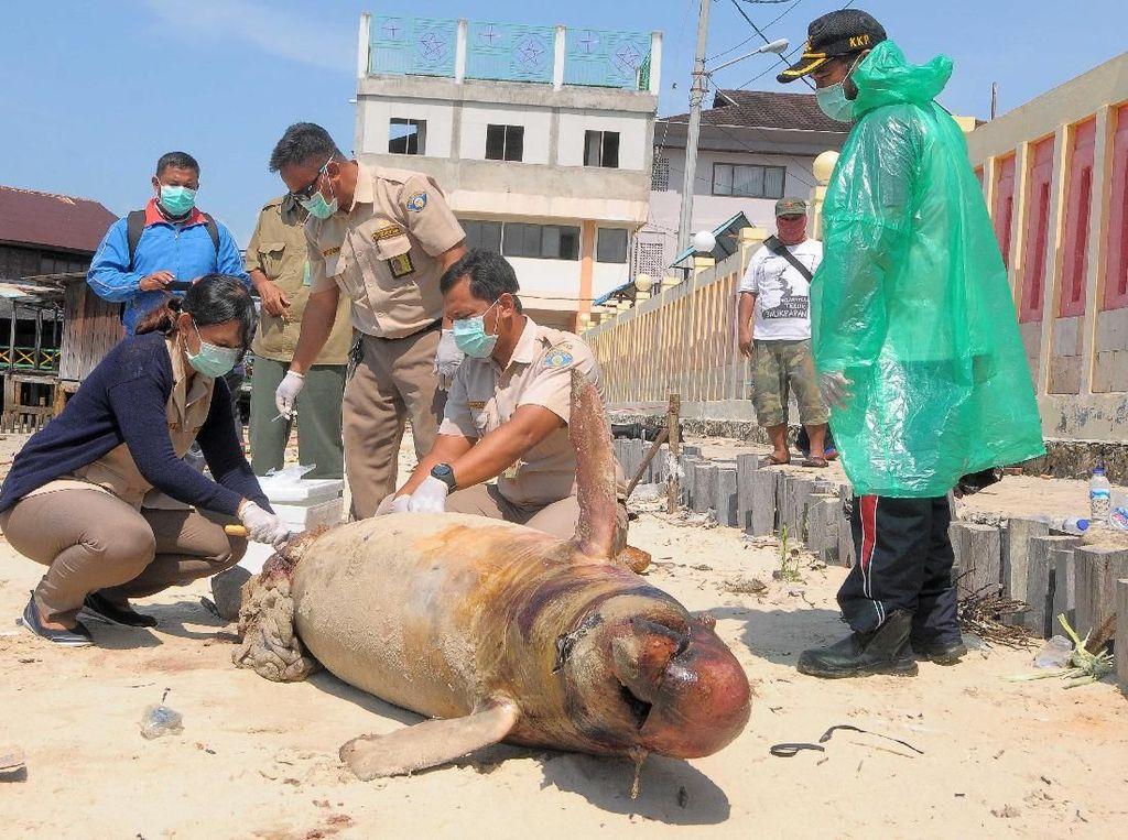 Teluk Balikpapan Tercemar Minyak, Pesut Mati