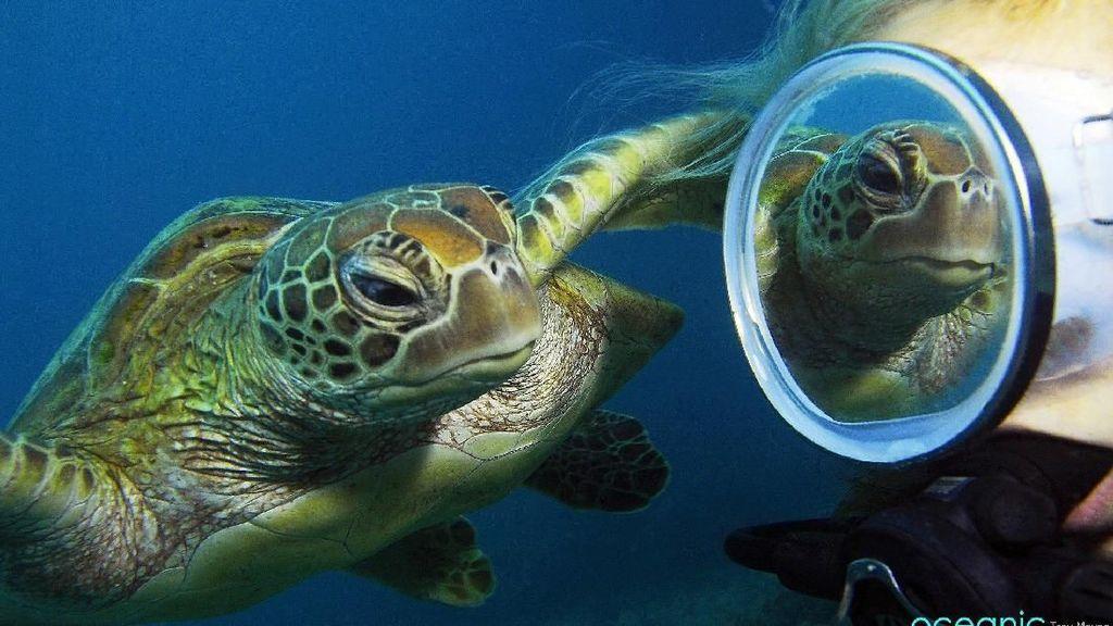 Aksi Gemas Kura-kura yang Penasaran Lihat Bayangannya Sendiri