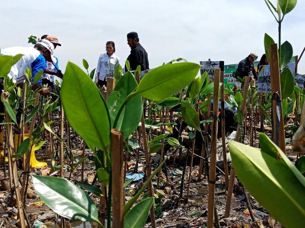 Melihat Aksi Penanaman Mangrove di Teluk Jakarta