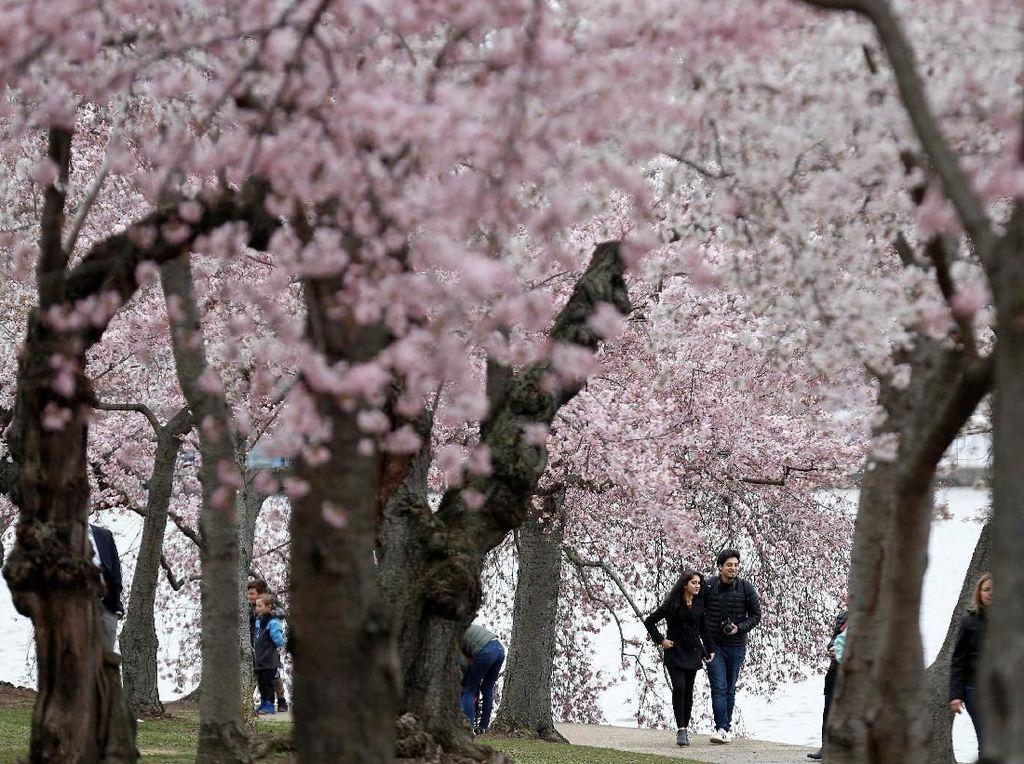 Indahnya Saat Bunga Sakura Bermekaran di Washington