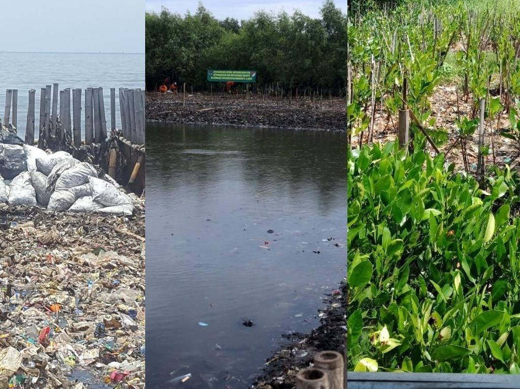 Before-After Lautan Sampah Teluk Jakarta Jadi Hamparan Mangrove