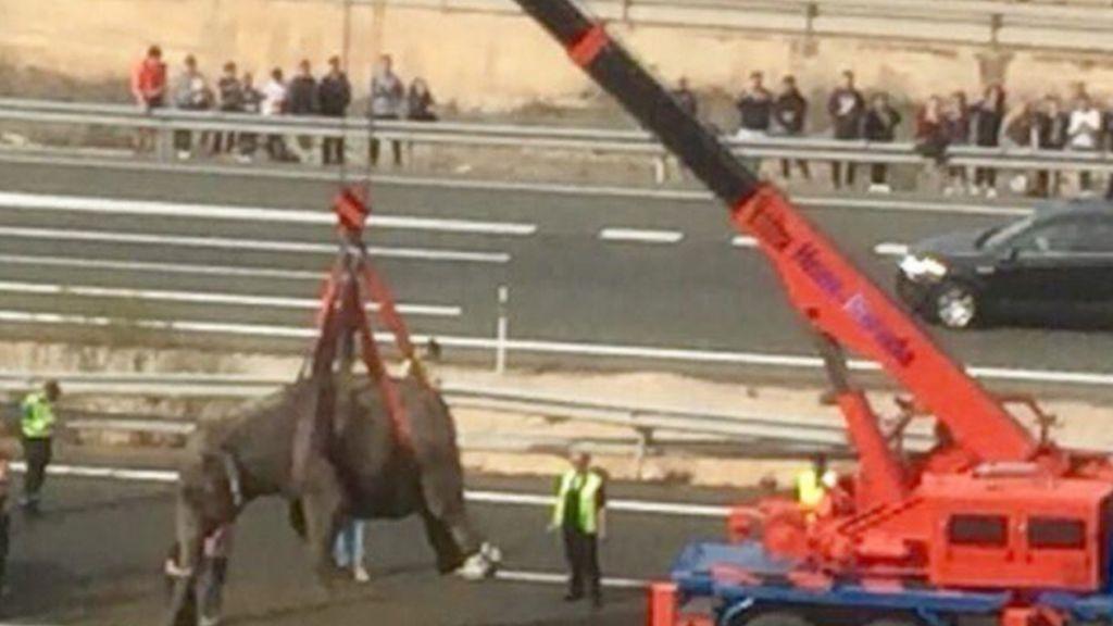 Heboh! Lima Gajah Kabur dan Berkeliaran di Jalan Tol Spanyol