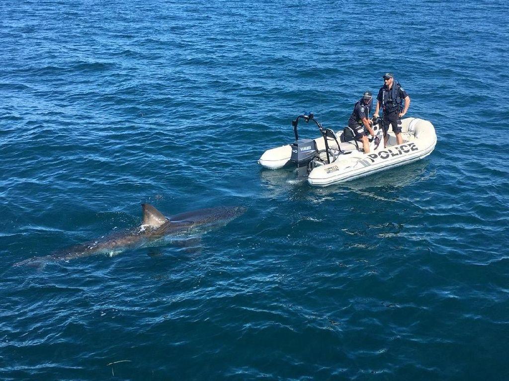 Foto: Hiu Putih yang Pepet Perahu Polisi Australia
