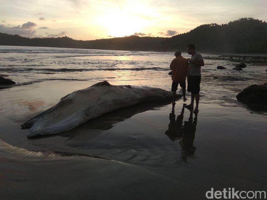 Bangkai Paus Ditemukan Nelayan Terdampar di Pesisir Trenggalek