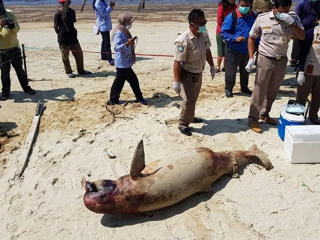 Foto: Penampakan Pesut Mati Gara-gara Minyak di Teluk Balikpapan