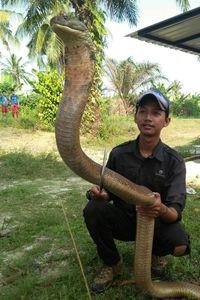 Mahasiswa di Riau Pelihara King Kobra Panjang 4 Meter