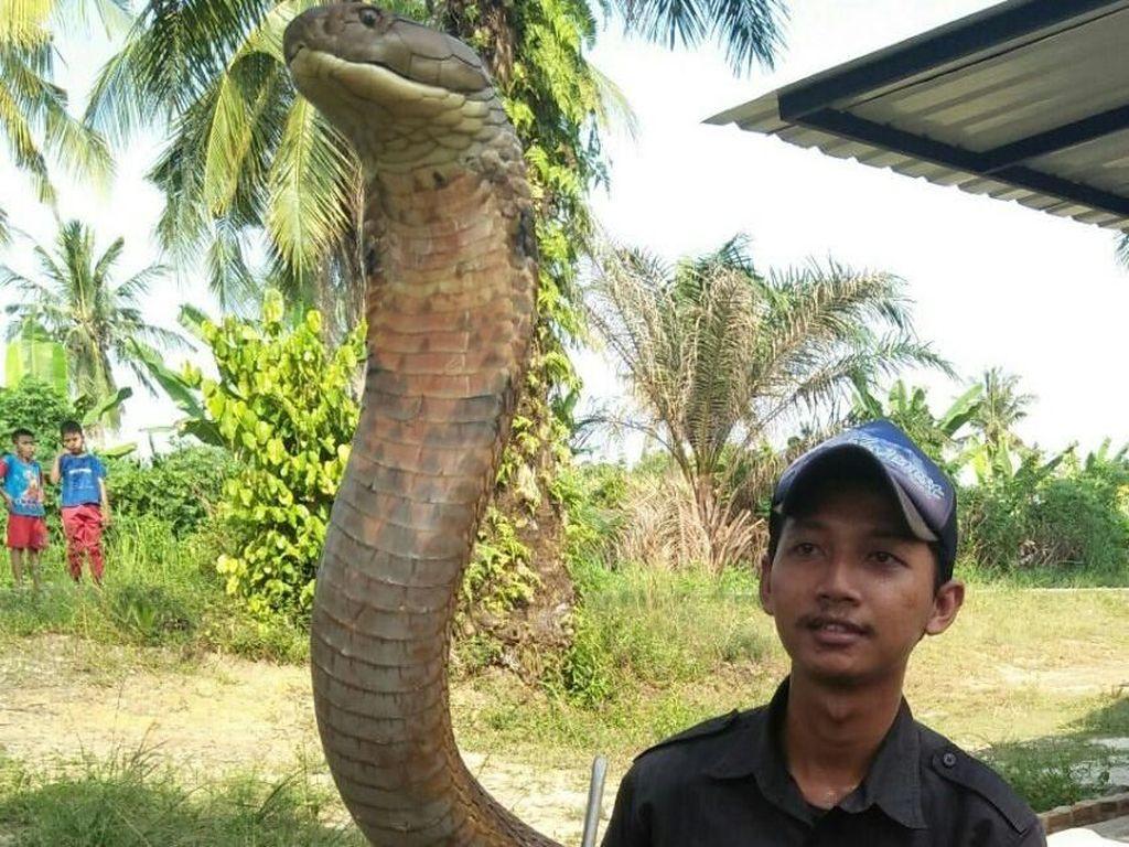 Pelihara King Kobra, Amar Hampir Diamputasi karena Digigit Ular
