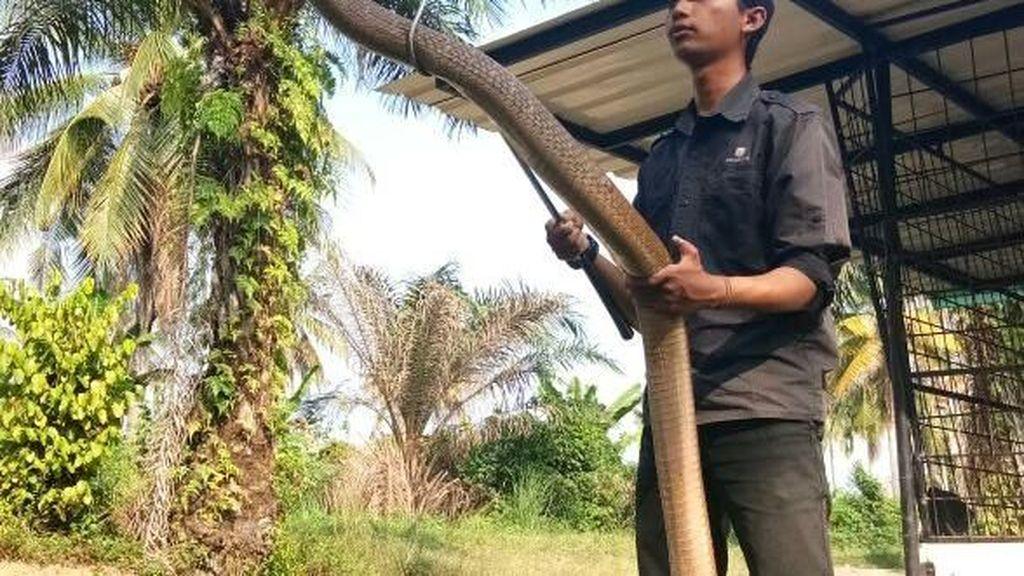 Foto: Aksi Amar Pemelihara King Kobra 4 Meter