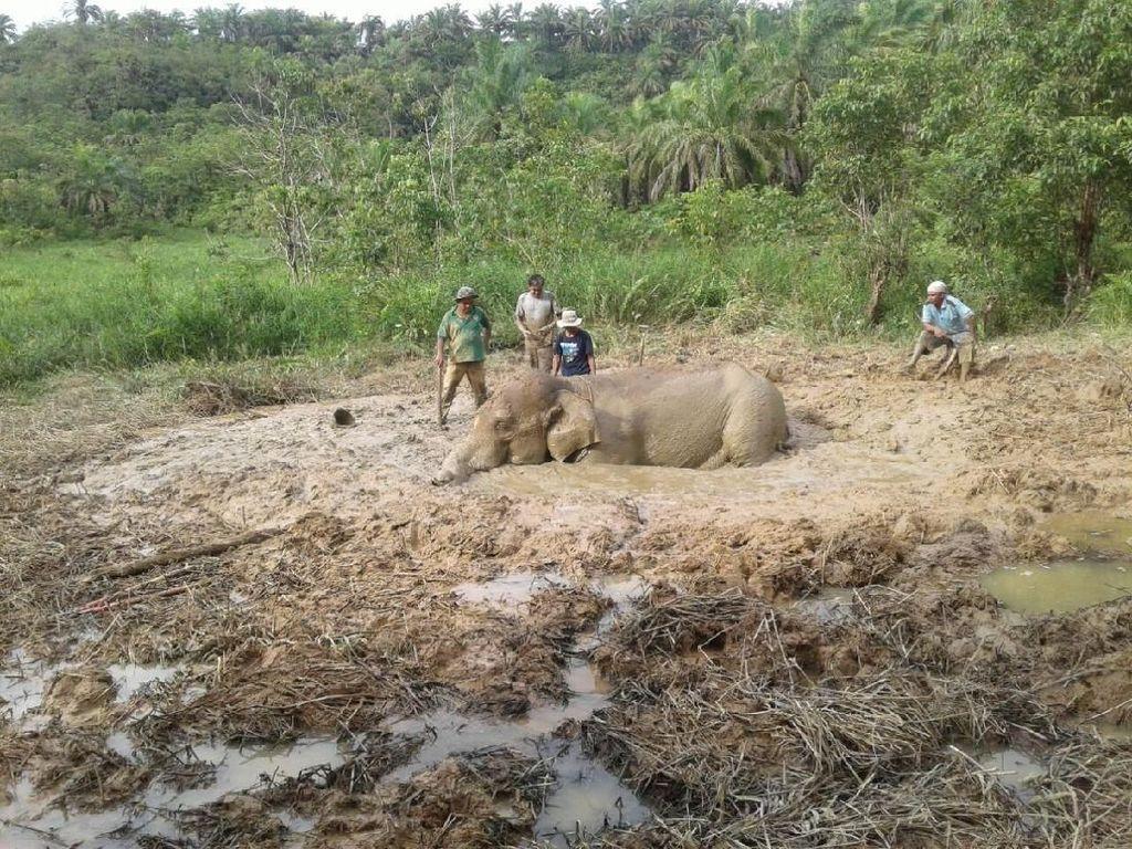 Gajah Winggo Terjebak dalam Lumpur Selama 8 Jam