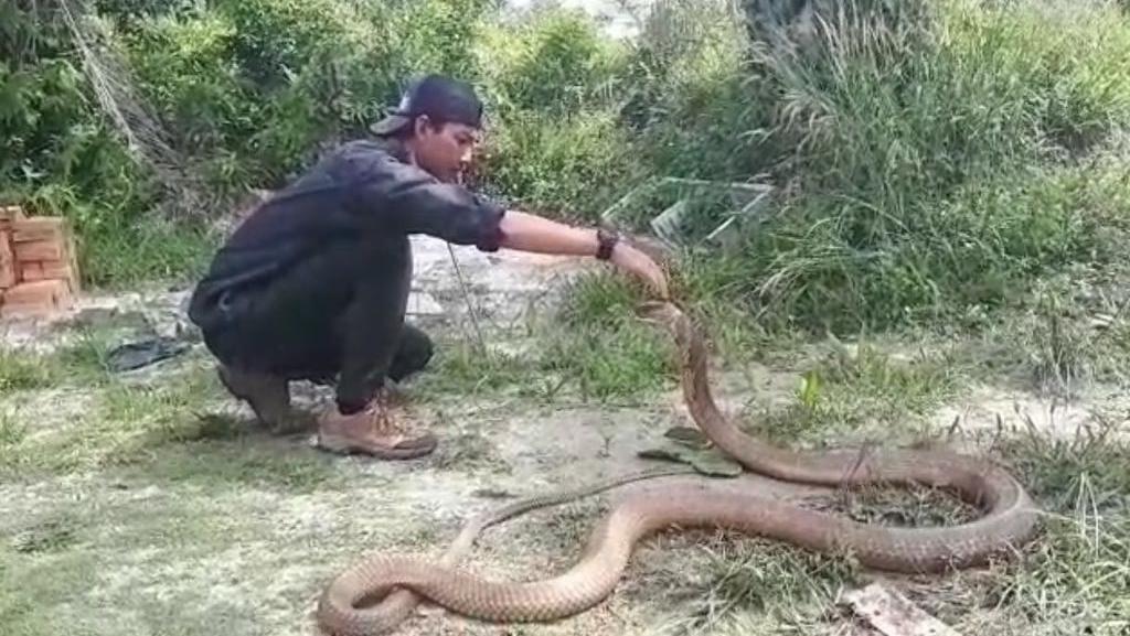 Foto: Gaya Nekat Amar Bermain dengan King Kobra 4 Meter