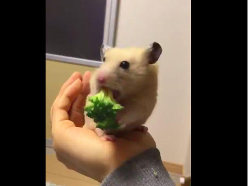 Lucunya, Hamster Ini Makan Brokoli dengan Sangat Lahap!