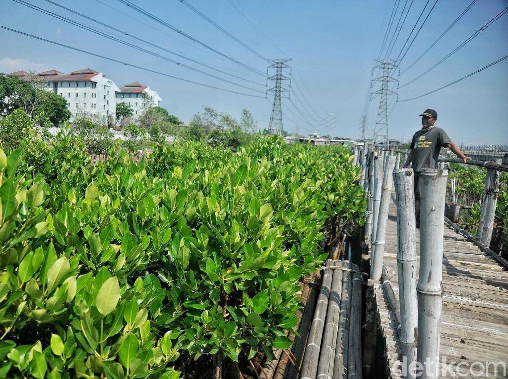 Melihat Pembibitan Mangrove di Muara Angke