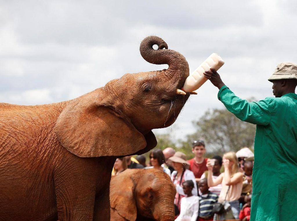 Foto: Mengintip Kelakuan Bayi-bayi Gajah di Kenya