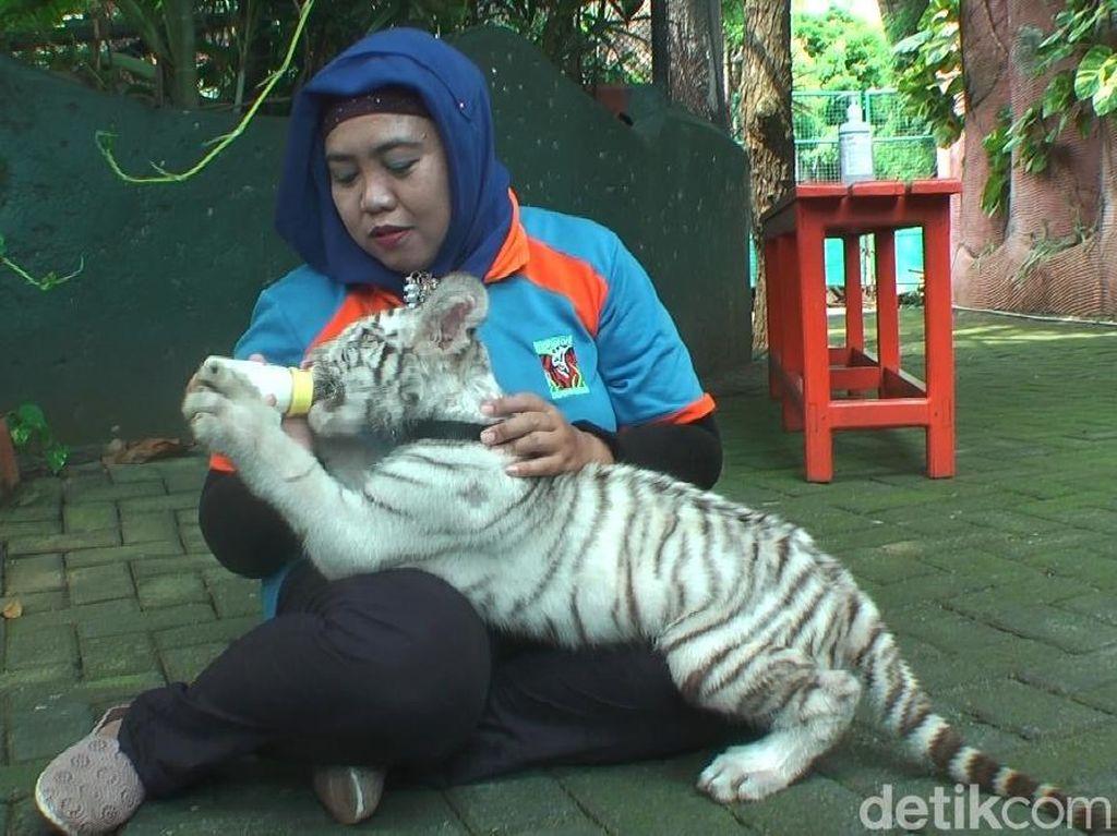 Mau Digigit Flash? Ini Bayi Harimau Benggala di Maharani Zoo