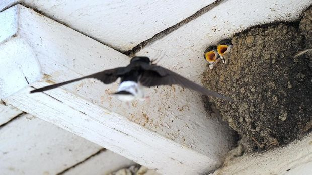 Ilustrasi sarang burung walet.