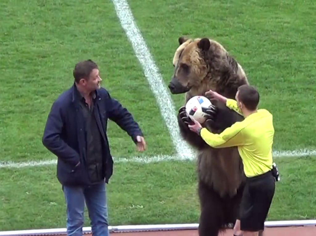 Video Beruang Besar Buka Pertandingan Sepak Bola