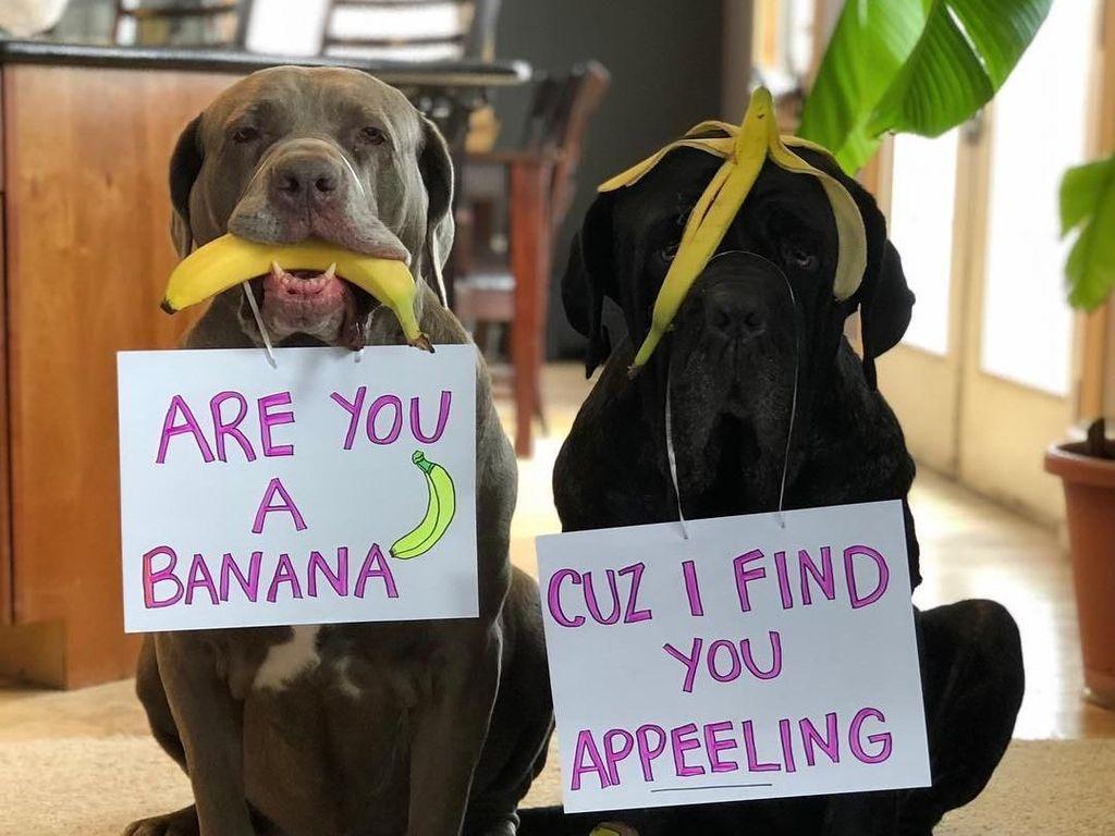 Gemas! Dua Anjing Mastiff Ini Adu Gombal Lewat Foto Makanan
