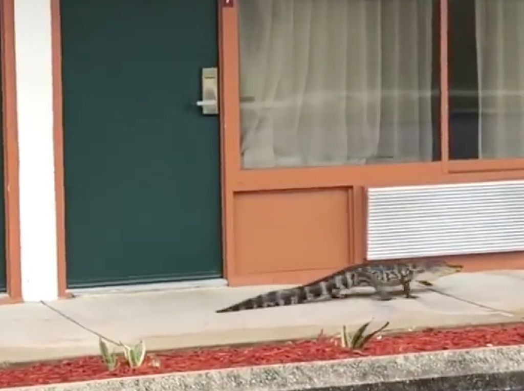 Detik-detik Aligator Jalan Santai di Depan Motel hingga Ditangkap