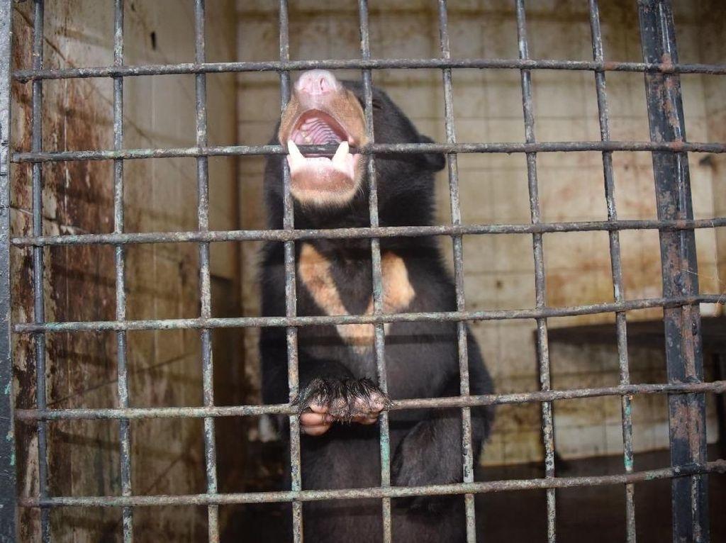 Beruang Madu yang Terkena Jerat di Riau Berhasil Diselamatkan