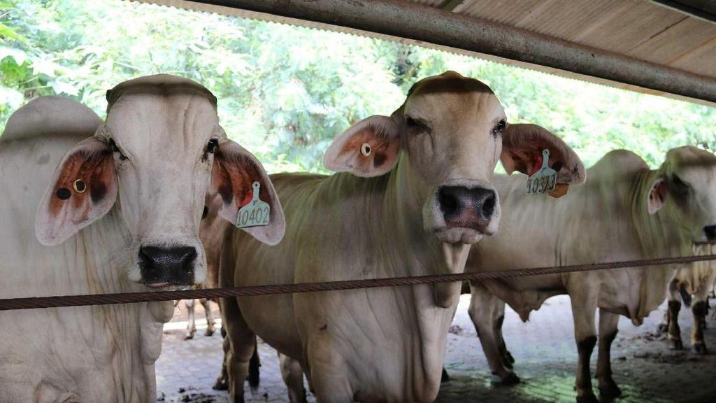 Perusahaan Indonesia Jual Daging Sapi Australia Online