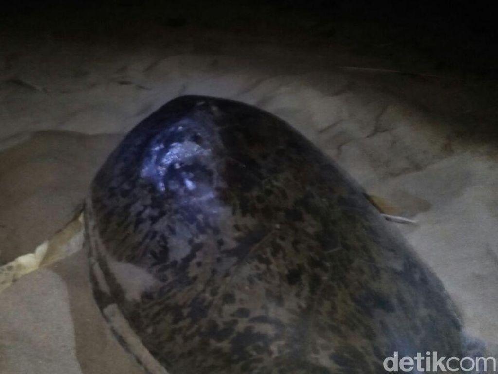 Punggung Penyu di Pantai Sukamade Luka, Ini Penampakannya