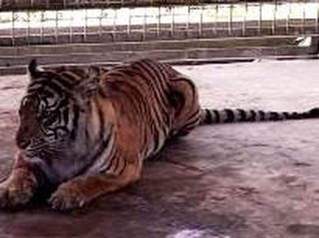 Tunggu Kalung GPS, Harimau Bonita Akan Dilepasliarkan