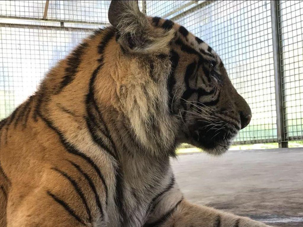 KLHK: Populasi Harimau Sumatera Tersisa 603 Ekor