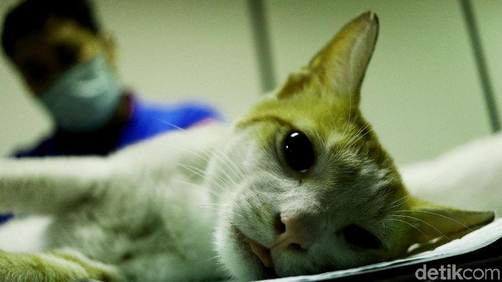 Tekan Populasi, Ratusan Kucing Dikebiri di Jakarta Pusat