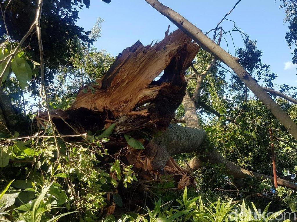 Waspada Pohon Tumbang, Wakil Walkot Bekasi Minta BPBD Lakukan Penyisiran