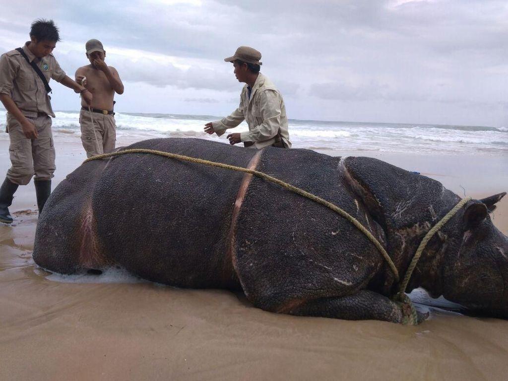 Samson Mati, Badak Jawa di Ujung Kulon Tinggal 68 Ekor