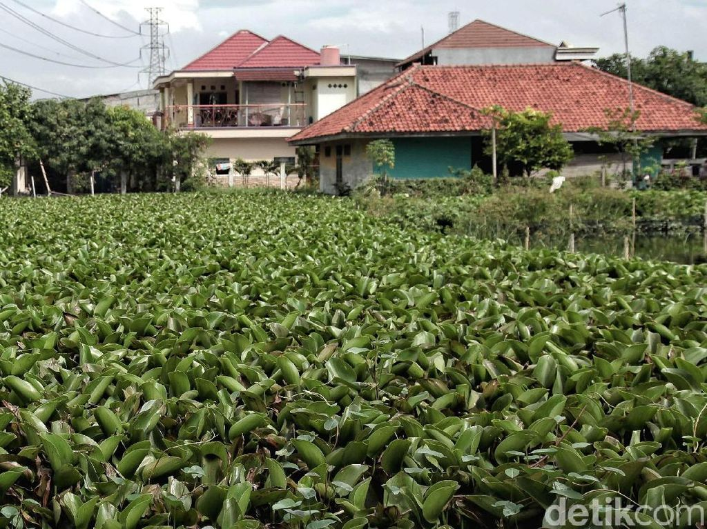 Waduh! Ada Kali Dipenuhi Eceng Gondok di Bekasi