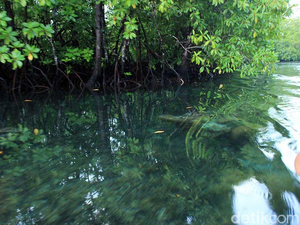 Unik! Hutan Mangrove, Bawahnya Terumbu Karang