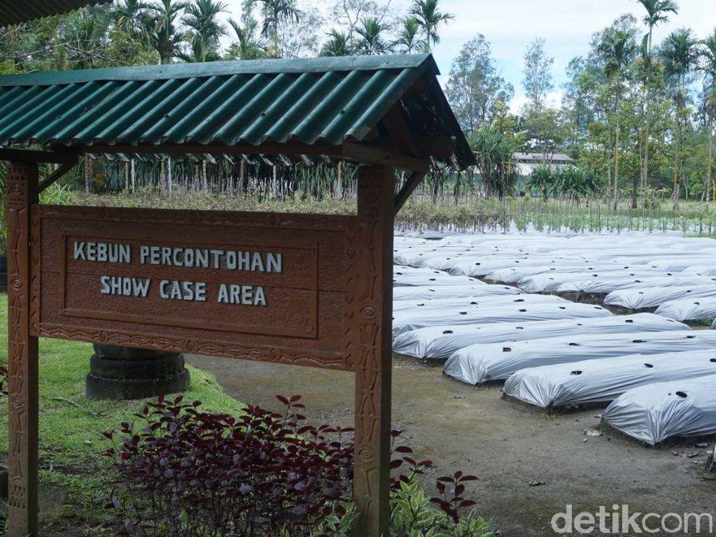 Lahan Bekas Limbah Tambang Freeport Disulap Jadi Perkebunan