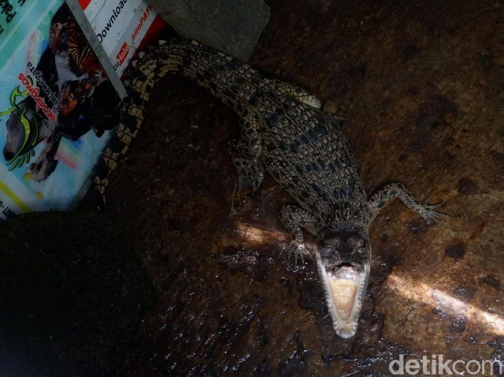 Mengejutkan! Buaya Muara Ditemukan di Kawasan Hulu Sungai Serayu