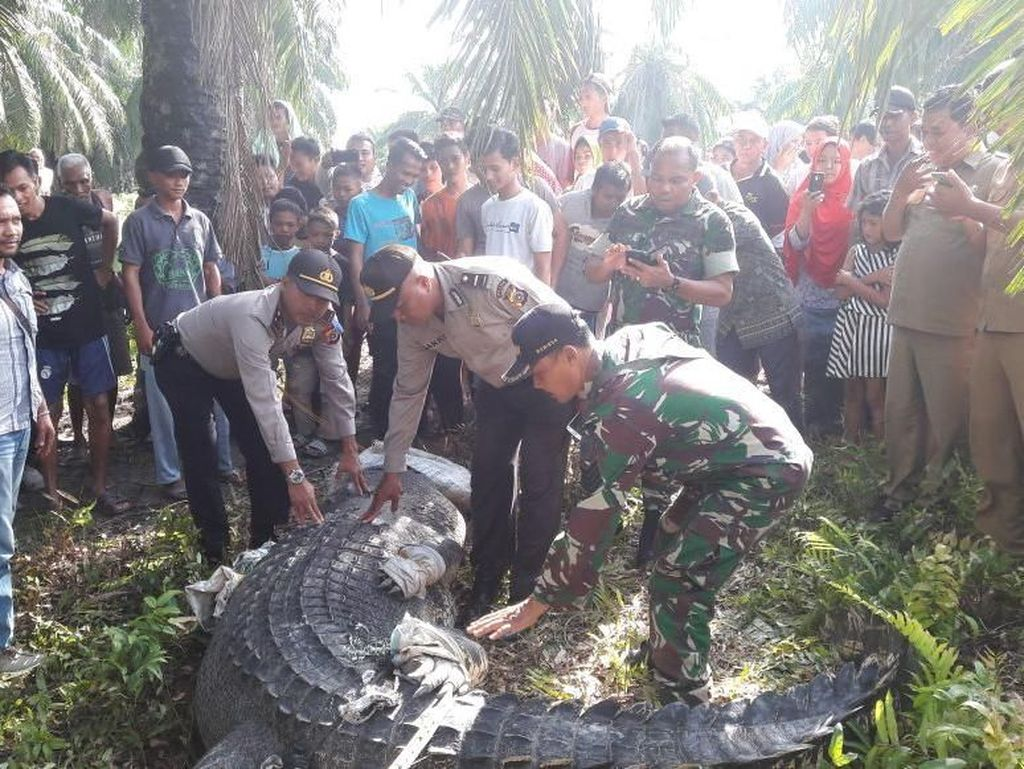 Mengerikan! Ini Buaya Raksasa yang Ditangkap Pekerja Kebun di Aceh