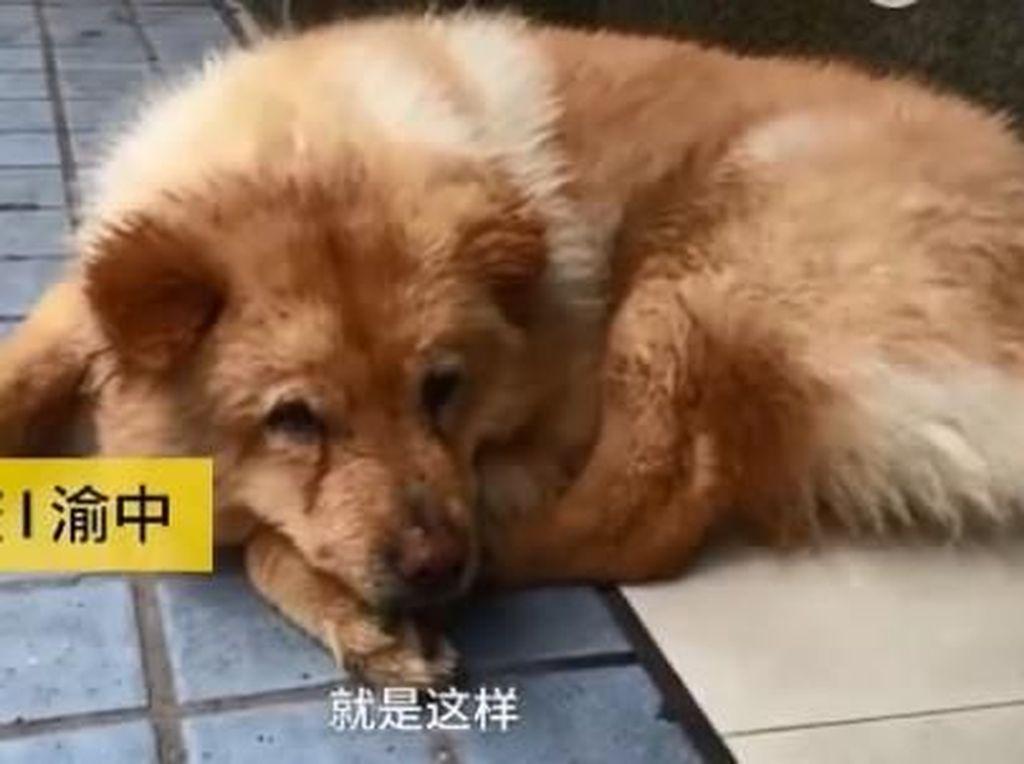 Mirip Hachiko, Anjing Ini Setia Tunggu Pemiliknya di Stasiun